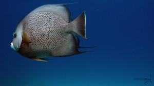 angelfish MUSA
