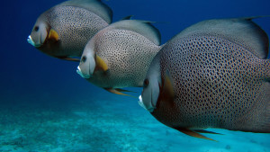 angelfish isla mujeres