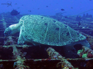 wreck c55 green sea turtle