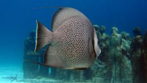 angelfish silent evolution