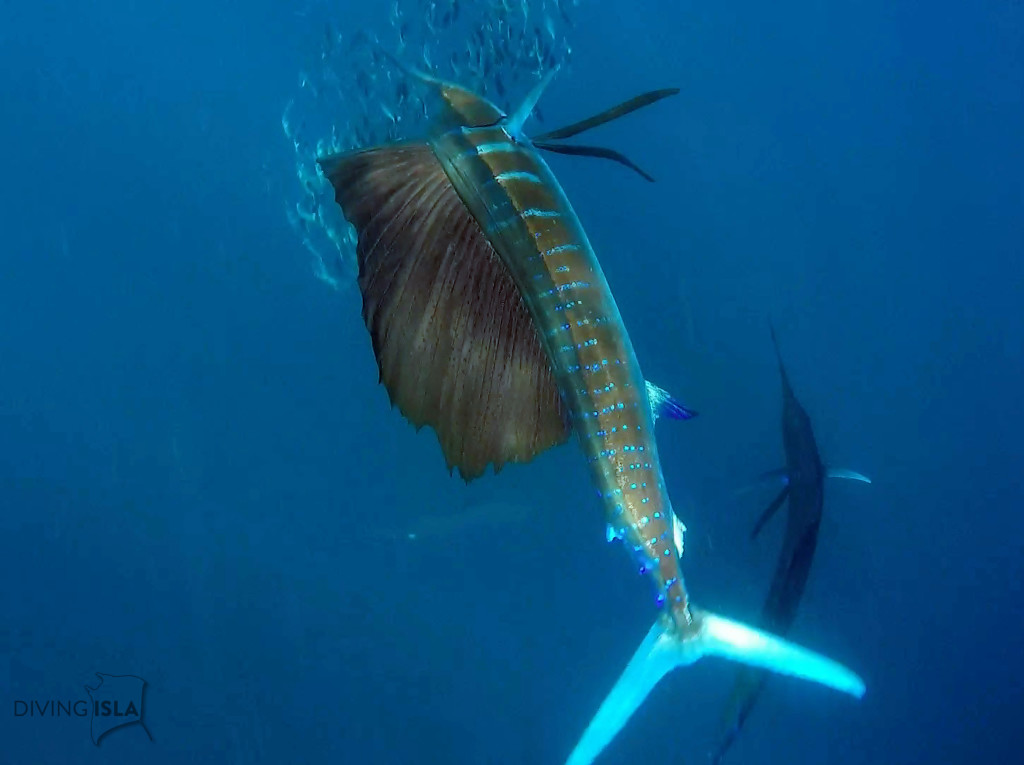 snorkeling with the sailfish in isla mujeres