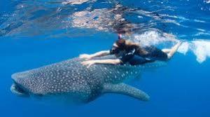 whale shark quintana roo